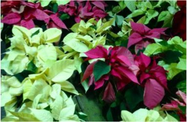 Poinsettias-father-nature-1