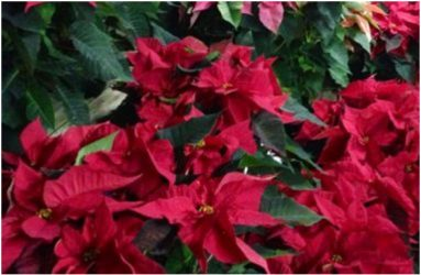 Poinsettias-father-nature-2