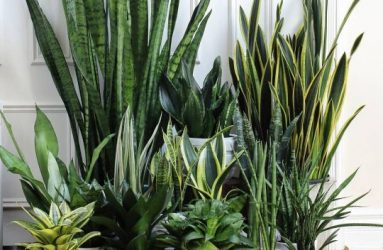 Vipers-Bowstring-house-plant