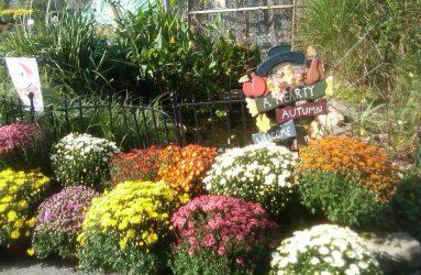 floral-mums-flowers