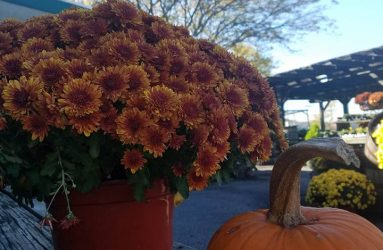 mums-flowers and pumpkins
