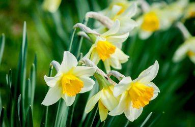 flower-Daffodils
