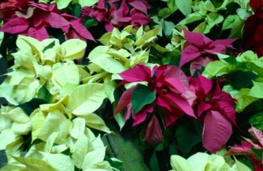 flower-Poinsettias