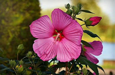 hibiscus-tropical-plants