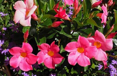mandevilla-tropical-plants