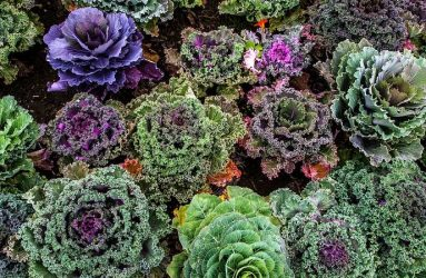 varieties-of-kale