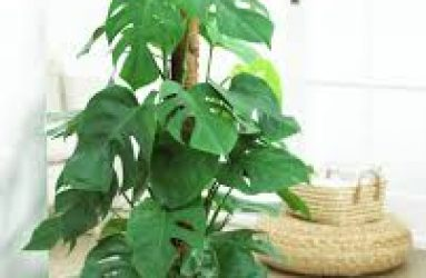 Philodendron-houseplant