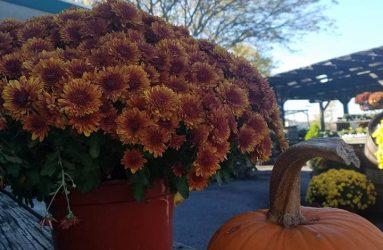 mums-flowers and pumpkins