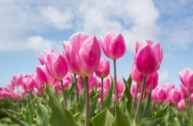 tulips-bulbs-2