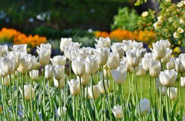 tulips-bulbs